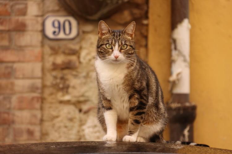コッレ・ディ・バル・デルザにおける丘の上の旧市街「コッレ・アルタ」で迎えてくれたネコ
