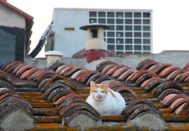 シエナ旧市街の夕刻、「シエナ色」の名で知られるカラーの瓦にたたずむネコ