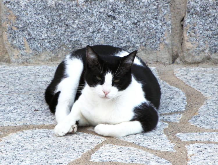 ジリオ島のネコ