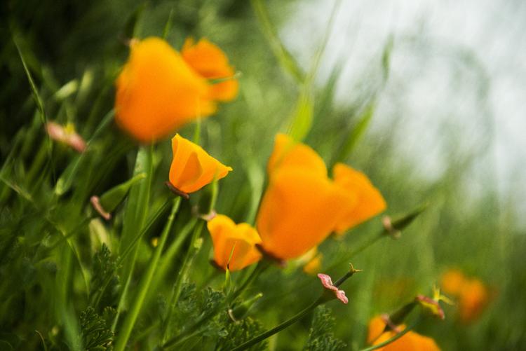 満開に咲いていたカリフォルニアの州花