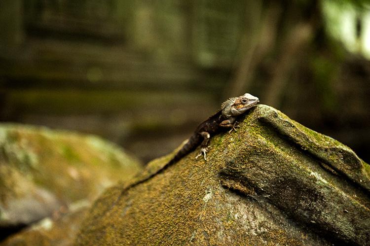 タ・プローム遺跡で出合ったトカゲ