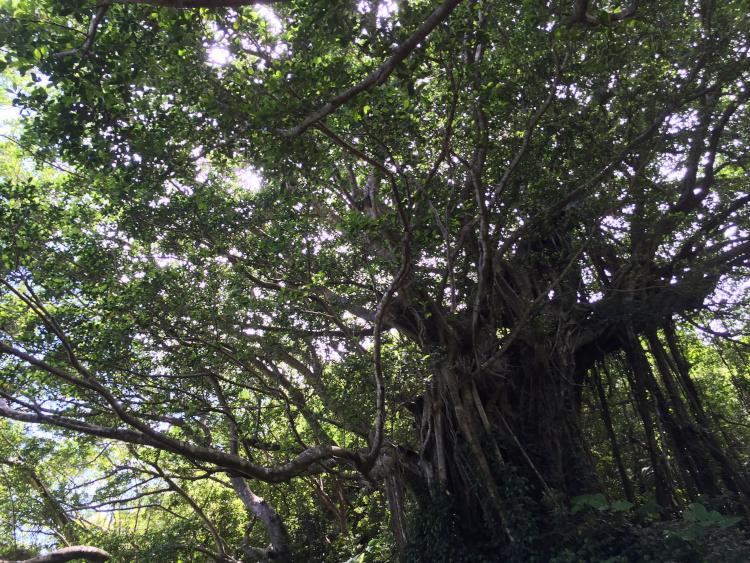 武名のガジュマルの木©寺本薫子