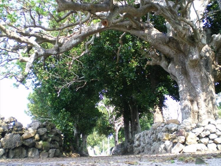 集落にはフクギ並木やデイゴの巨木など、沖縄ならではの木々が©いぜな島観光協会
