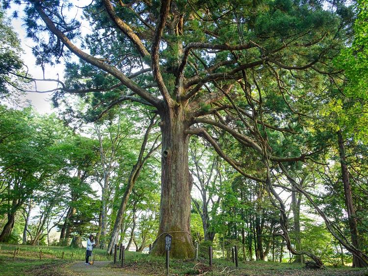 「従二位の杉」