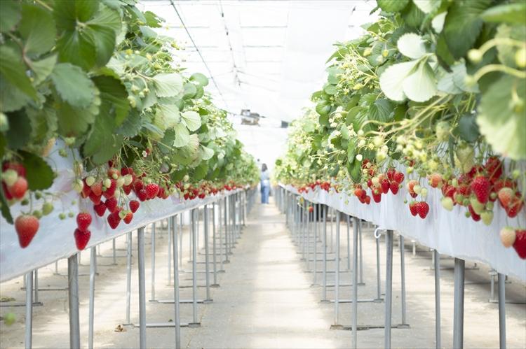 パティシエの辻口博啓さんの心を動かした、施設内の農園で育つイチゴ