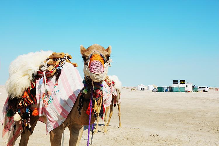 (86) ラクダは嵐の前の静けさ? 永瀬正敏が撮ったカタール