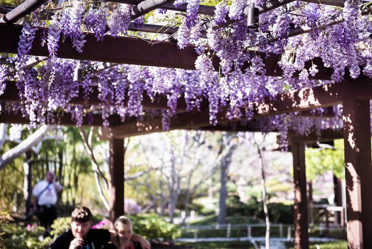 サンディエゴの庭園に咲く藤の花