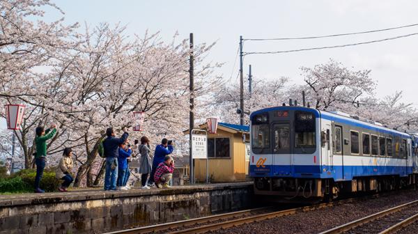 視界を埋め尽くす桜と海 石川県の能登鹿島駅