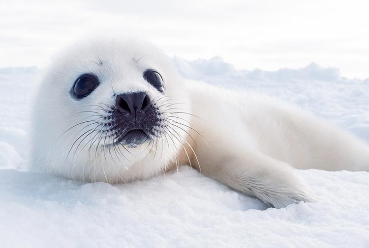 流氷の上で、アザラシの赤ちゃんに会った! カナダ・マドレーヌ諸島