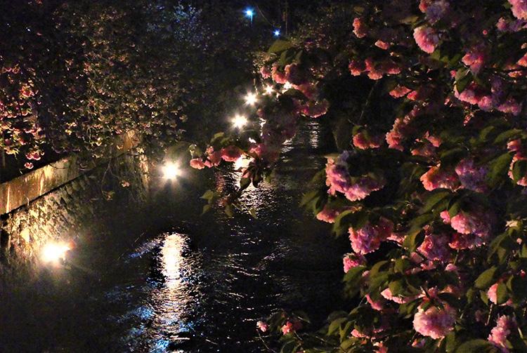 光に照らされる八重桜。幻想的です