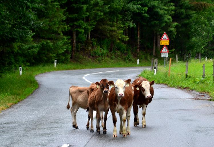 戻りのバスが走り始めると、突如、牛たちが