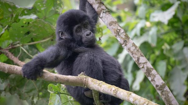 ゴリラに會いたくて道なき道を ウガンダ