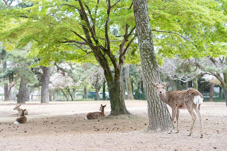 それにしても、鹿がたくさんいますね