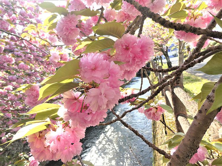 きれいなピンク色の八重桜。散っていく花びらに過ぎゆく春を感じました