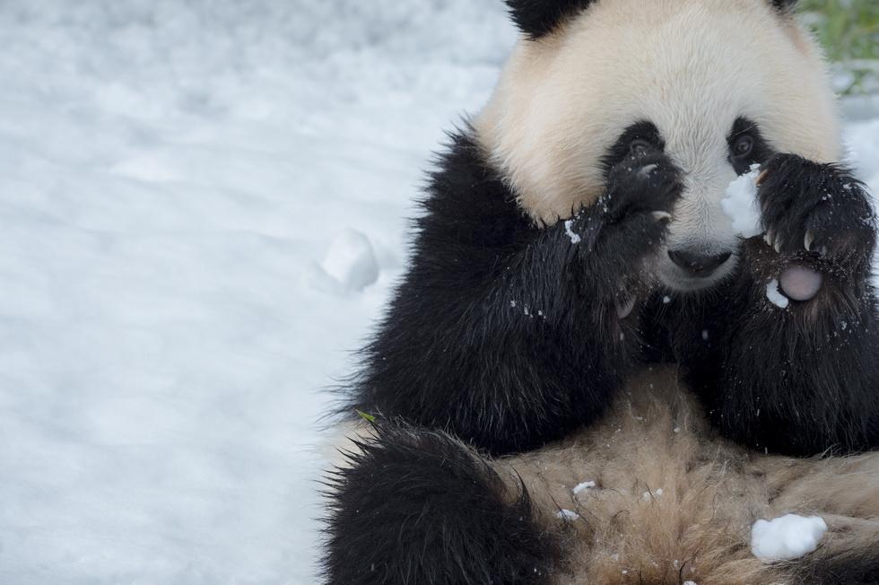 Hello Panda アドベンチャーワールドのパンダたち 朝日新聞デジタル