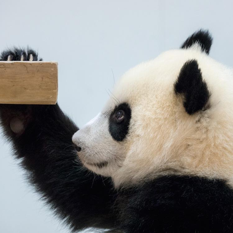 HELLO LITTLE アドベンチャーワールドのあかちゃんパンダの奇跡