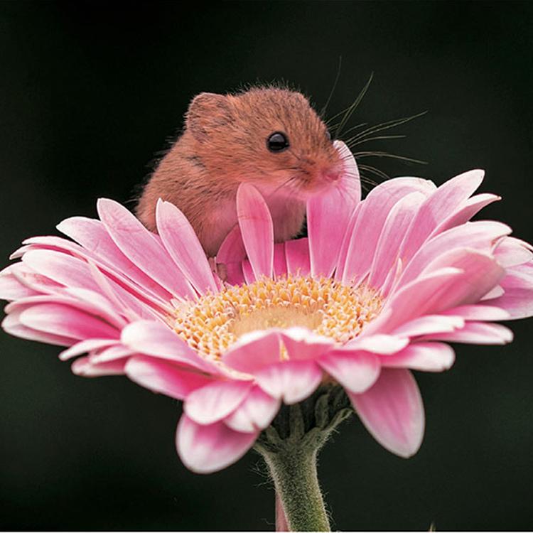 お花の中にすっぽり入ってしまう「ちいさなかわいいハーベストマウス」