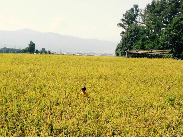 長野の稲刈り寸前
