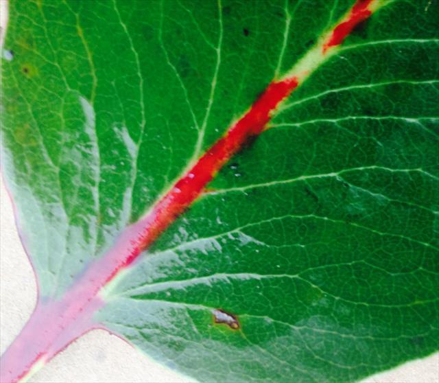 アビュータスの葉
