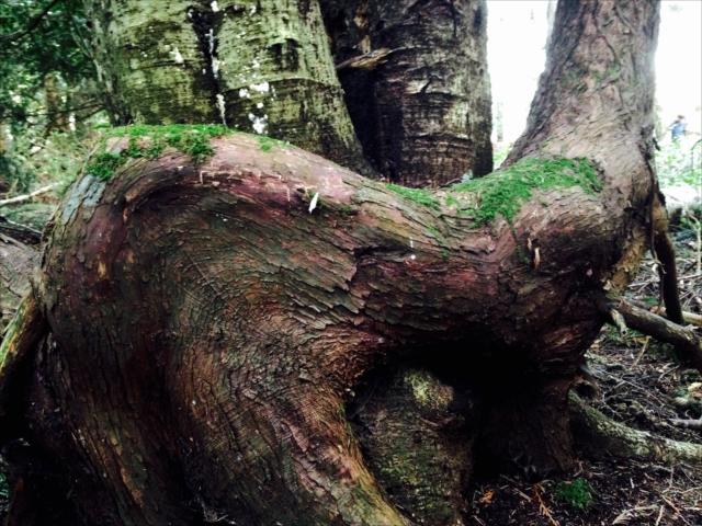 アビュータスの木。お氣にいりの腰下ろし場
