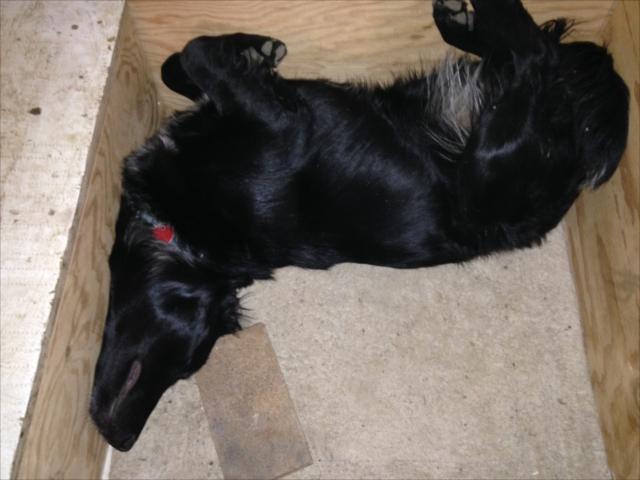 うちの犬、タワ