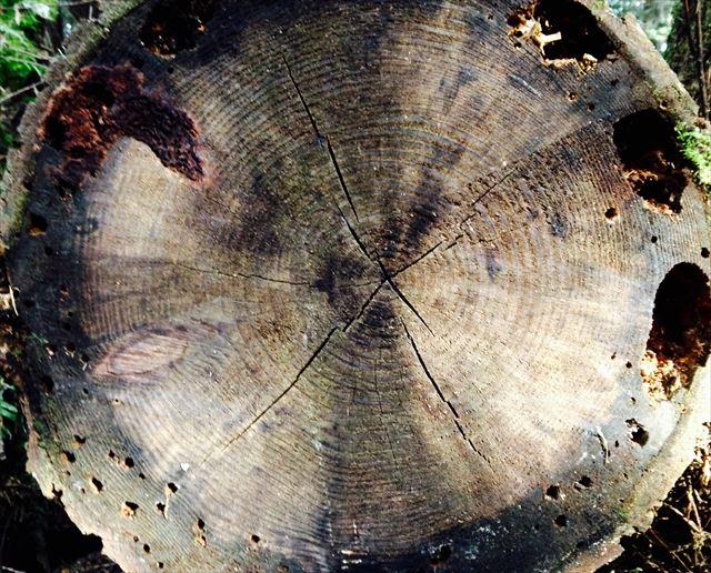 然びだした大木