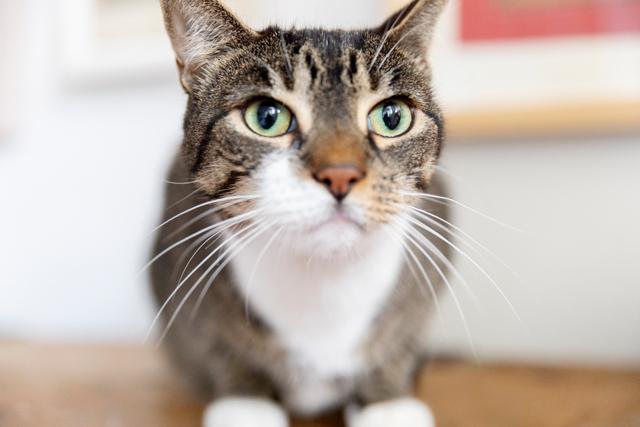 おでこのところに、黒いMの文字が読みとれるメイ。「普通の猫に比べて尻尾が細いし、乳首もないんです。どこかのラボで実験的に飼育された猫なのでは…なんて考えたことも(笑)」(ピーターさん)