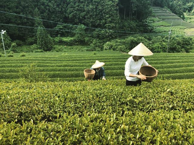 佐賀県・嬉野でのお茶摘み