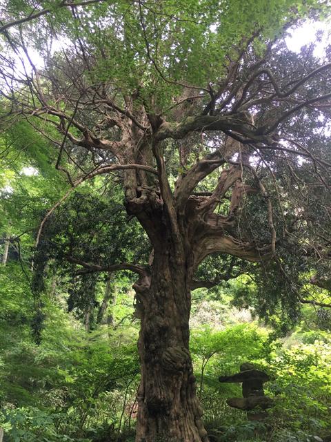 所有できない、生命力に満ちた大木