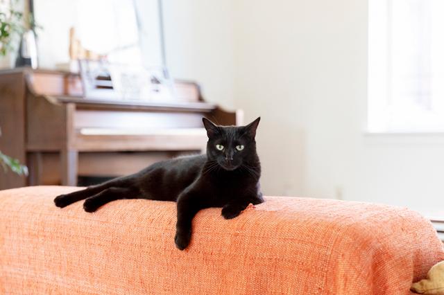 保護施設から譲渡してもらったという黒猫のココ。ツヤッツヤの毛艶(づや)の良さが自慢です