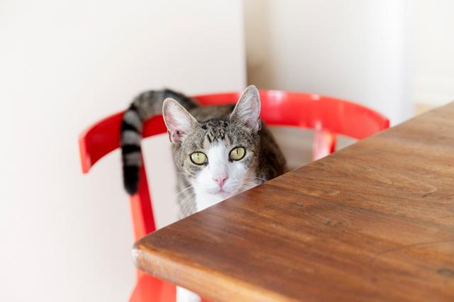 ココと同じく保護猫のセラム。よくしゃべるココとは正反対に、「ほぼ鳴きません。目で語ってきます」(アニカさん)。目ヂカラあります