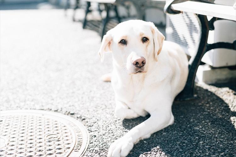 盲導犬訓練士:五百澤(いおざわ)朋子さん(31歳)