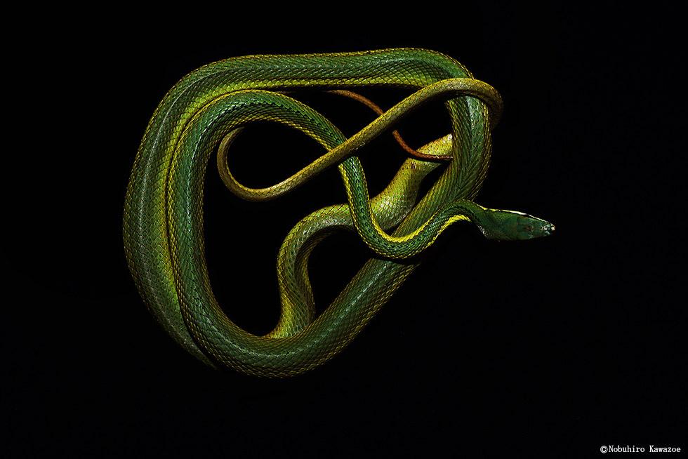 世界の美しいヘビ