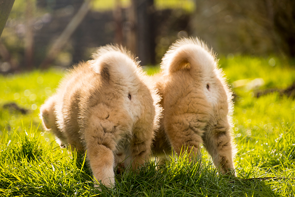 かわいくて愛おしい秋田犬の家族
