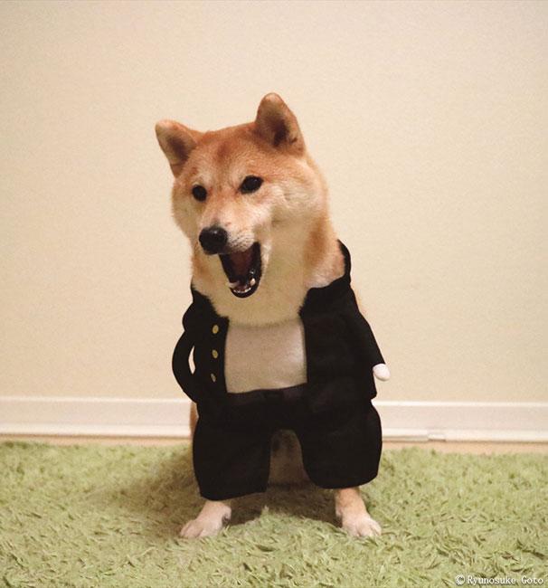 福を招く柴犬「だいふく」