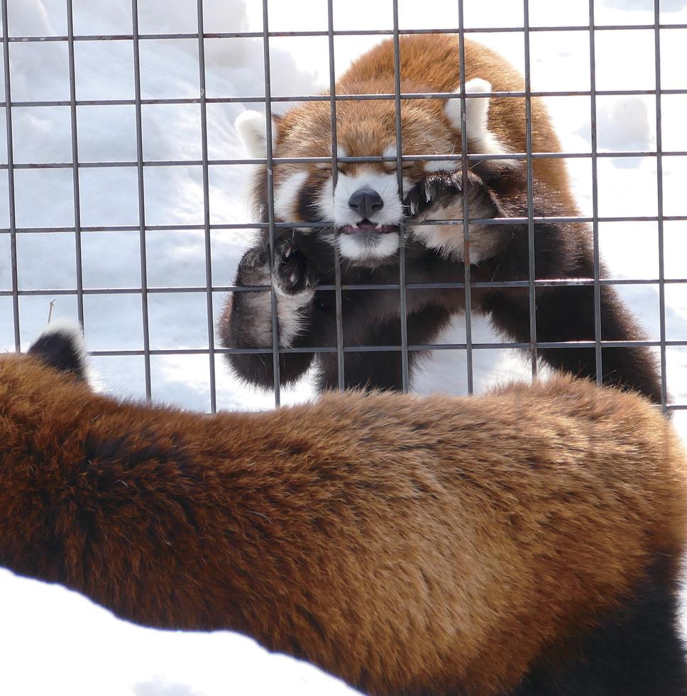 へんてこ! レッサーパンダ