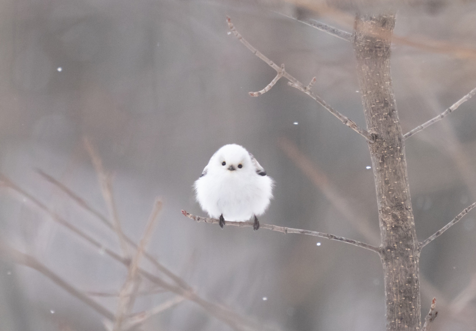 冬がいちばんのふわふわ「シマエナガちゃんの日々 ぼくはここにいるよ」