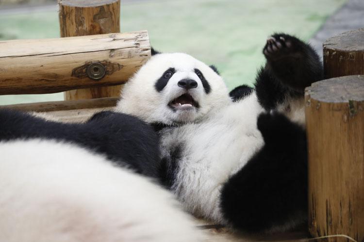 パンダ愛がとまらない! ~ハロー 彩浜とパンダファミリー~