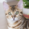トラウマを乗り越えて。ベンガル猫と戯れる毎日