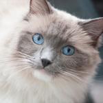 ブルックリンの共働き夫婦、相棒はふわふわの美猫ラグドール