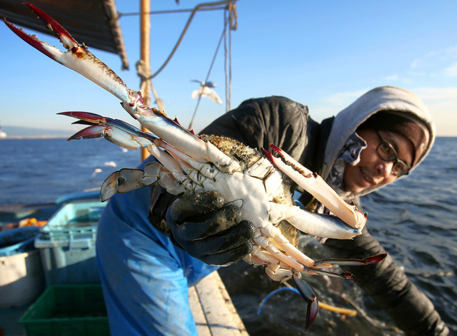 漁の開始から約3時間。引き揚げた網にはこの日2匹目のワタリガニが入っていた。なかなか取れない高級食材だけに、漁師の顔もほころぶ=大阪府沖の大阪湾、林敏行撮影