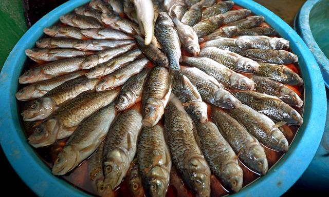 塩もみされ、おけに規則正しく並べられたニゴロブナ=滋賀県高島市マキノ町、竹花徹朗撮影