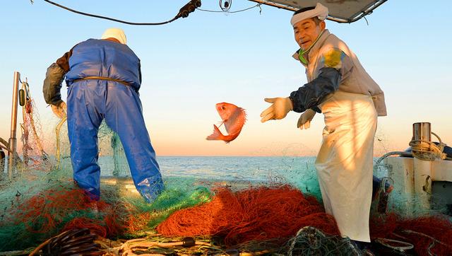 マダイを水槽に投げ込む戸田修一さん。朝日を浴びて、うろこがピンク色に輝いた=兵庫県の明石海峡