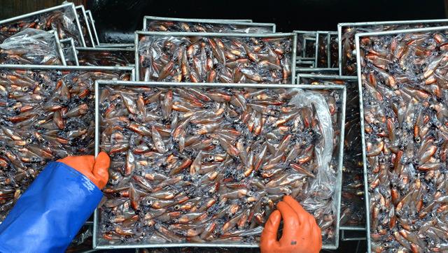 水揚げされたばかりのホタルイカ。トレーに詰められ、山積みになった=兵庫県沖の日本海