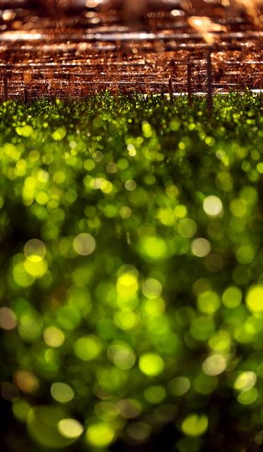 よしずと藁で覆われたほの暗い茶畑。わずかに漏れた光が作り出す風景は、さながら無数の蛍が葉にとまっているようだ=京都府宇治市