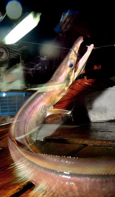釣り上げたばかりのハモ。暴れ回る口から出ている釣り糸を切り、すぐにいけすに入れる=兵庫県南あわじ市沼島沖