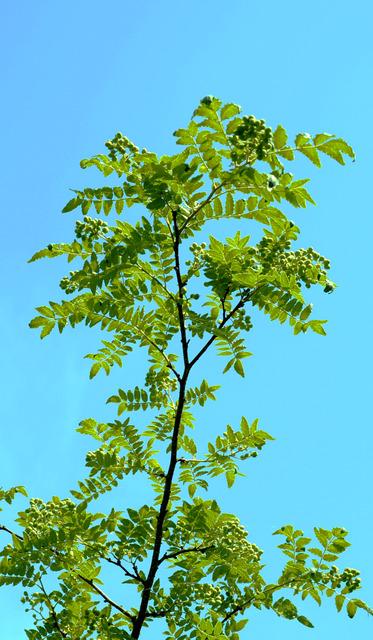 すくすく育った「ぶどう山椒」。3メートルほどの高さにもなる。大きくなりすぎると収穫が難しい=和歌山県有田川町清水