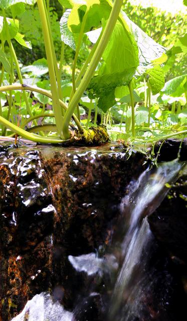 清流の中で育つワサビ。通常は土の中だが、植わった場所によって地表に顔を出すものも=広島県廿日市市吉和