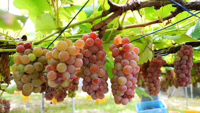 真夏日の畑で収穫されるデラウエア。ワインに向かないと言われる品種だが、工夫を重ねておいしいワインにした=大阪府柏原市
