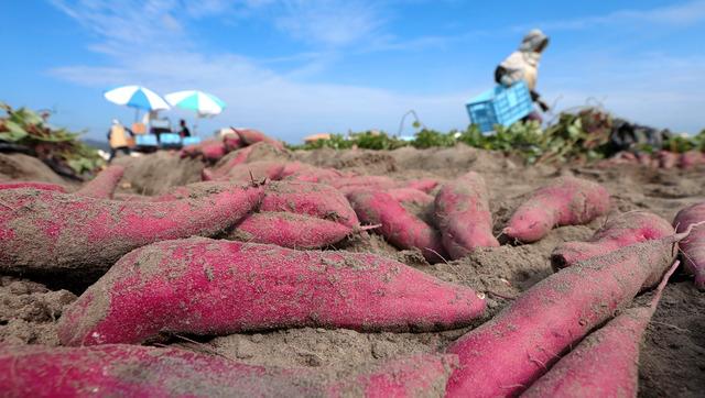 秋晴れの下、掘り出されたなると金時。小豆色の「肌」に、細かな砂粒をまとっていた=徳島県鳴門市、林敏行撮影